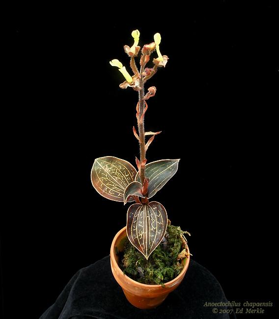 http://www.orchidspecies.com/orphotdir/anoecchapaensis.jpg