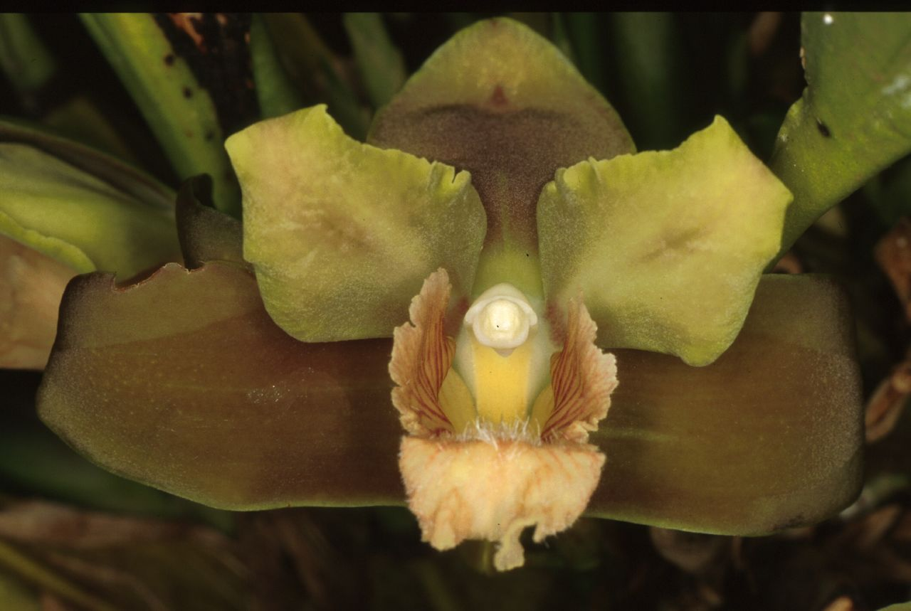 http://www.orchidspecies.com/orphotdir/bifrinodora.jpg