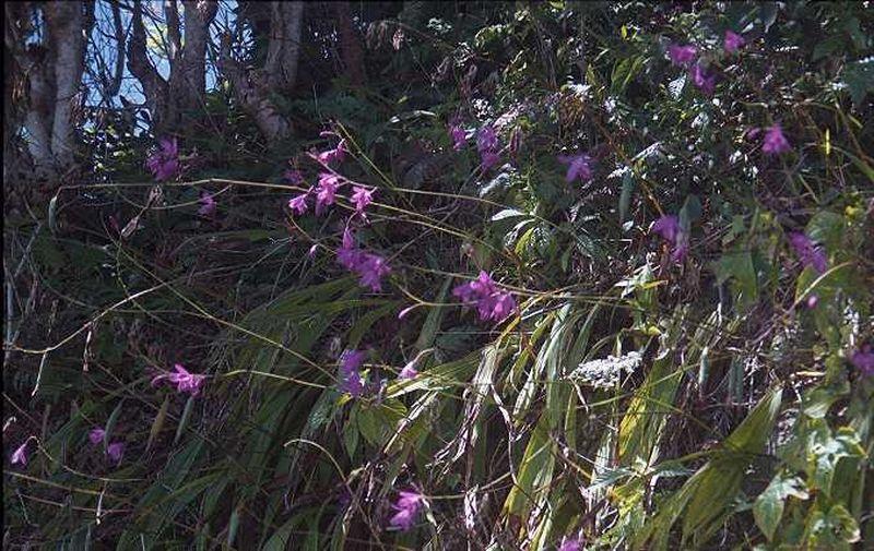natural species. Bletia patula