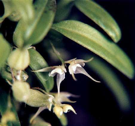 saurocephalum Bulbophyllum aff