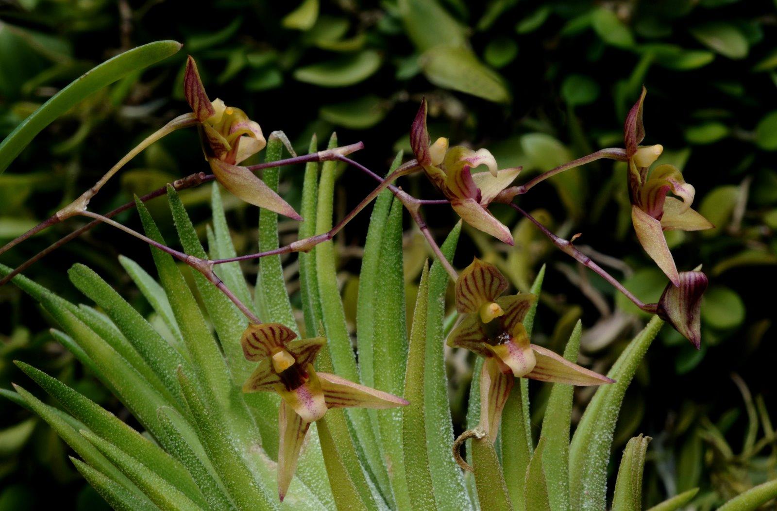 http://www.orchidspecies.com/orphotdir/bulbocymbidioides.jpg