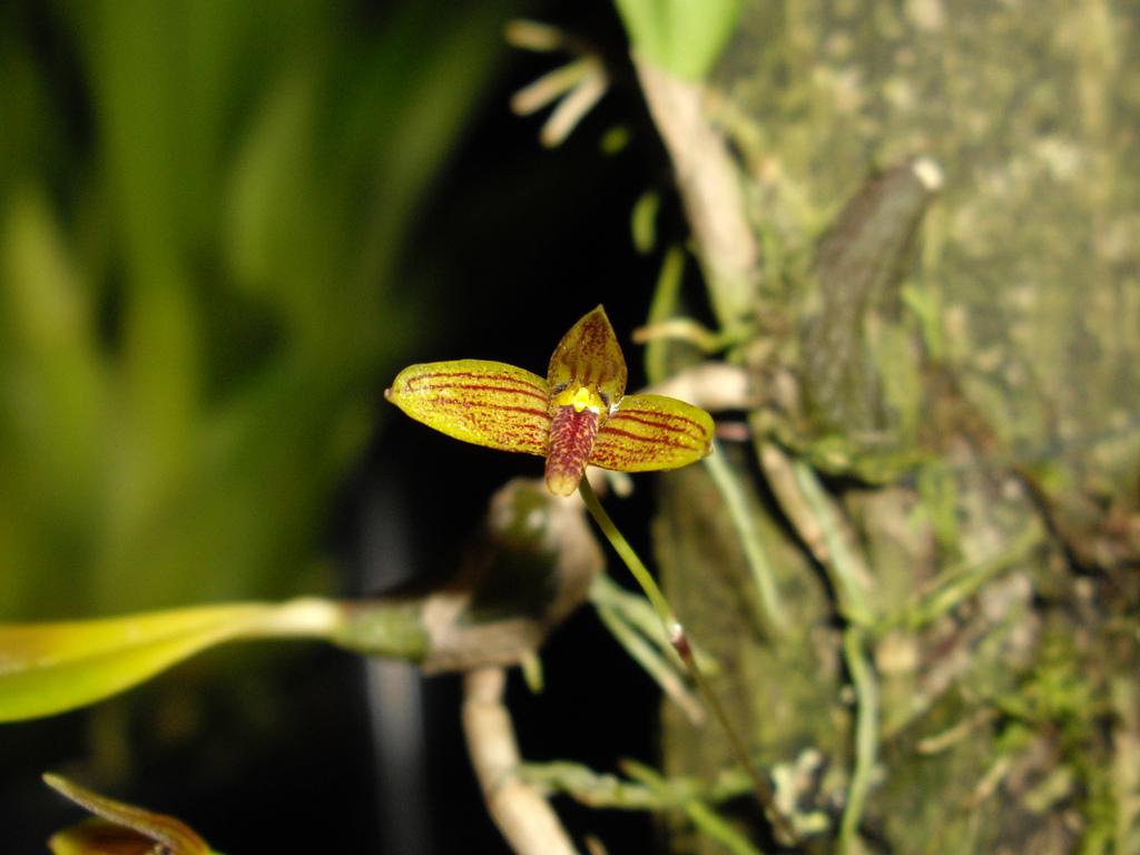 http://www.orchidspecies.com/orphotdir/bulbojohnsoni.jpg
