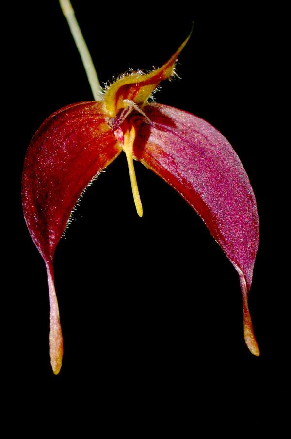 IOSPE PHOTOS  Orchid Species