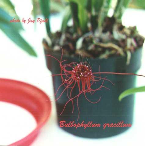 Bulbophyllum gracillimum Bloom Size mounted