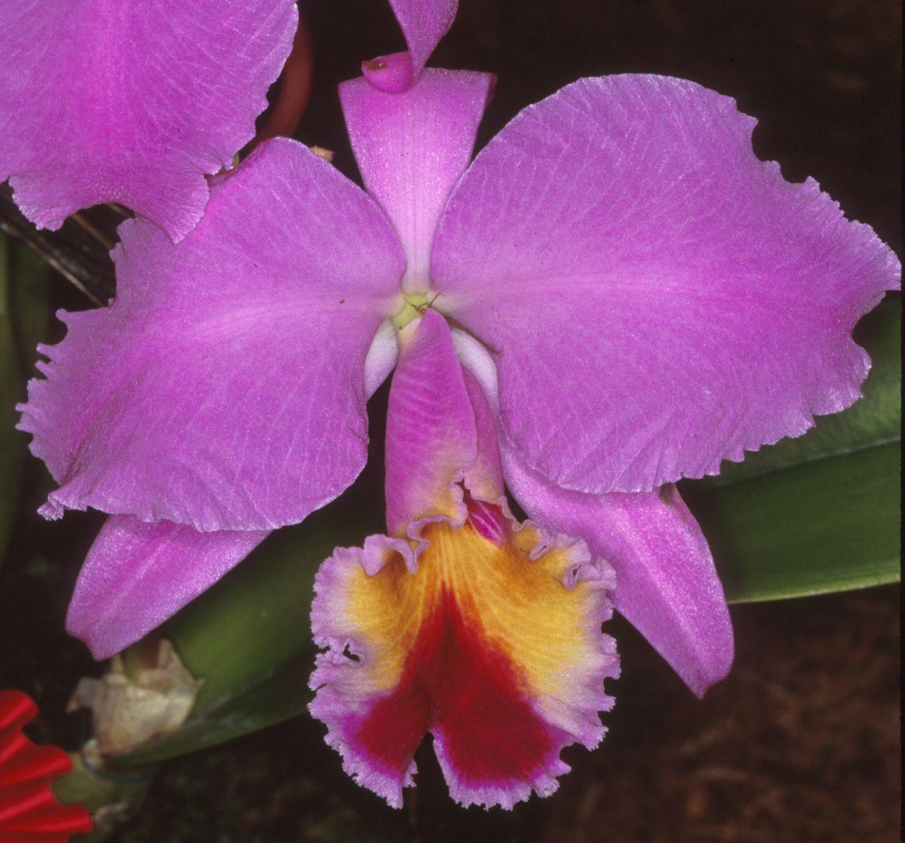 Iospe photos for Orchidea cattleya