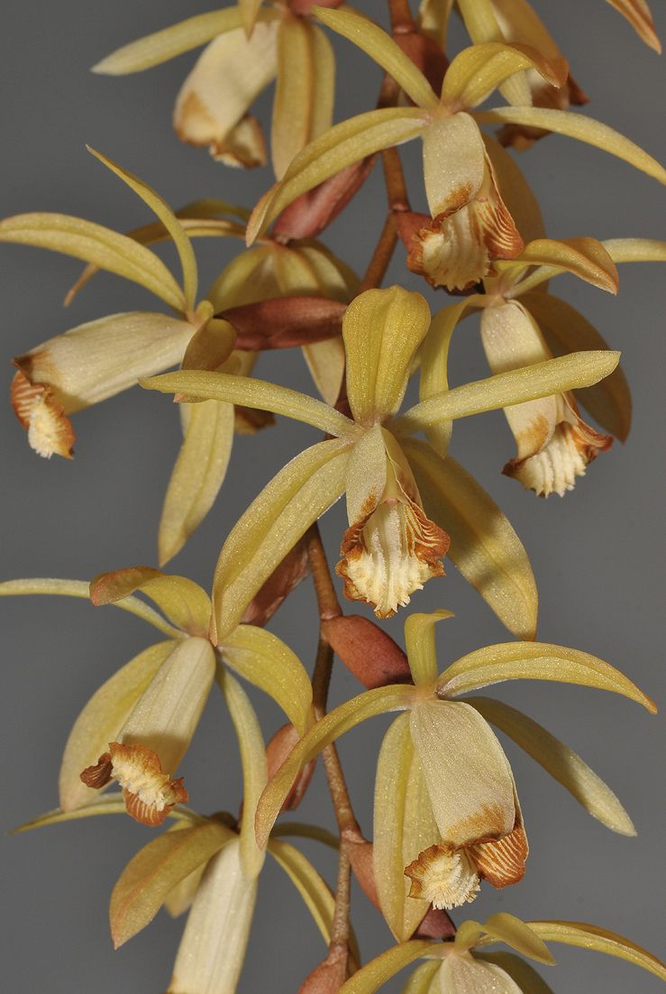 Coelogyne bruneiensis de Vogel 1992 SECTION Tomentosae | IOSPE
