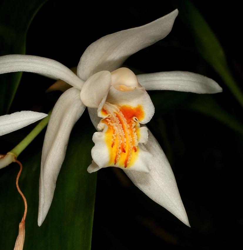 http://www.orchidspecies.com/orphotdir/coelocummingii.jpg