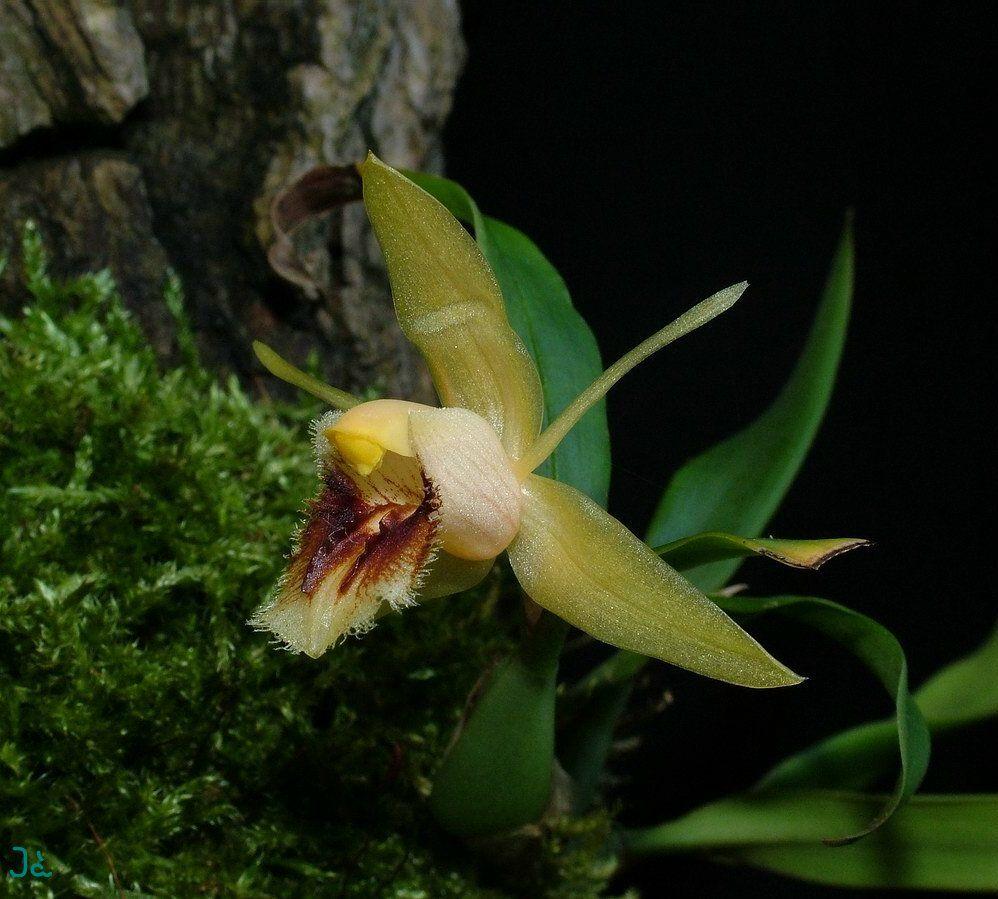 http://www.orchidspecies.com/orphotdir/coelofimbrata.jpg