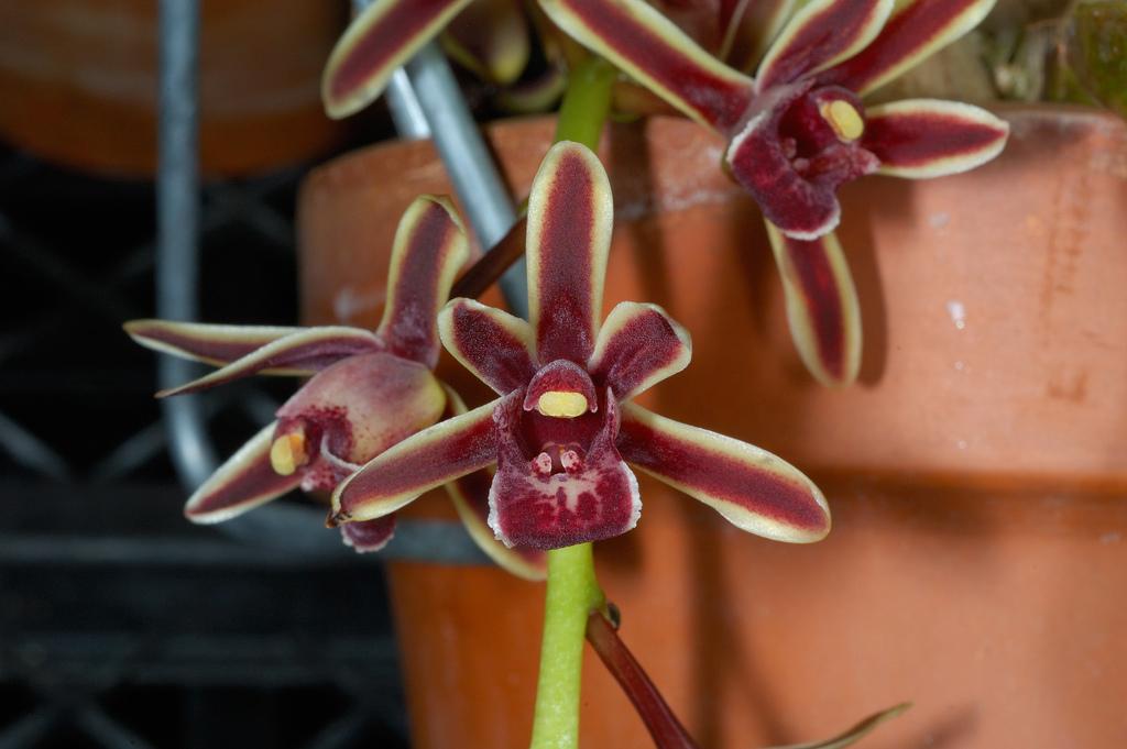 http://www.orchidspecies.com/orphotdir/cymbidibicolor.jpg