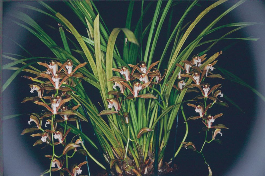 http://www.orchidspecies.com/orphotdir/cymbidierythreum.jpg