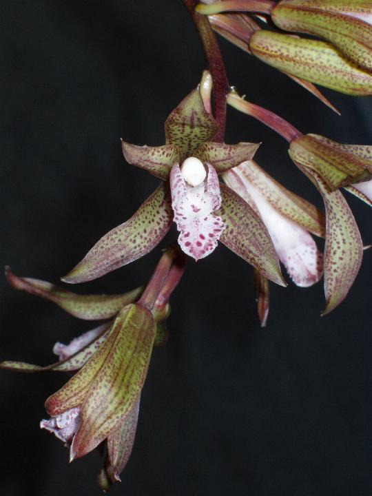 http://www.orchidspecies.com/orphotdir/cymwhitei.jpg