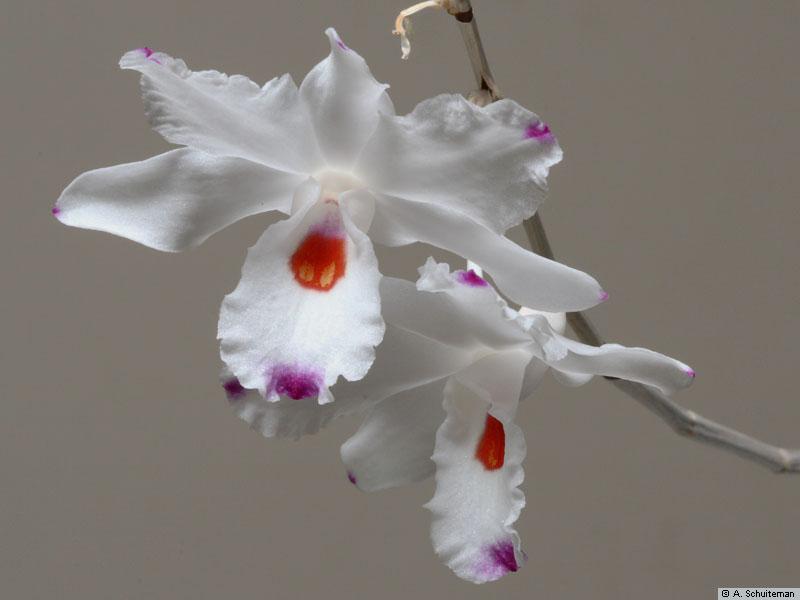 http://www.orchidspecies.com/orphotdir/denannae.jpg