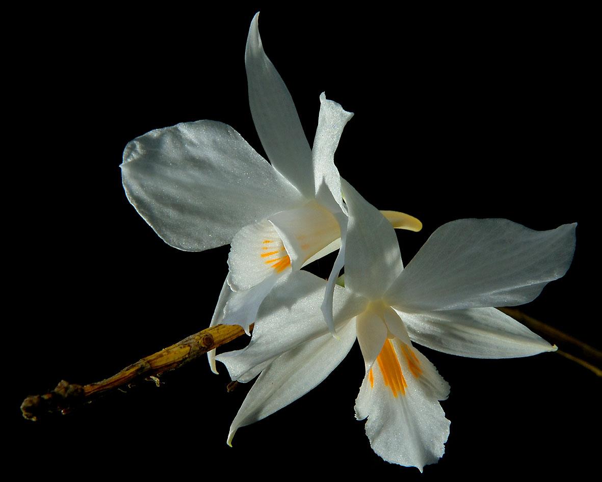 http://www.orchidspecies.com/orphotdir/dendrobiinfundibulum.jpg