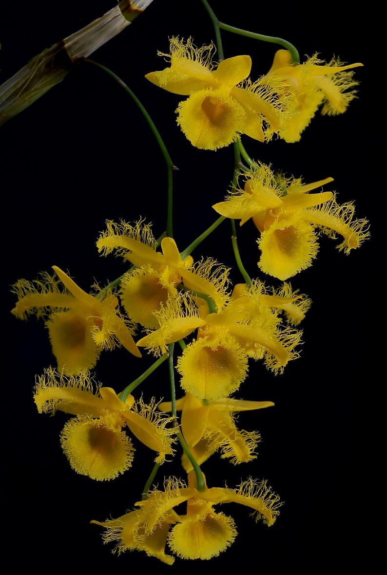 http://www.orchidspecies.com/orphotdir/denharveyanum.jpg