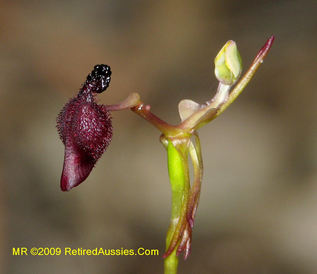 Παράξενα.. φυτά Drakagloptdon