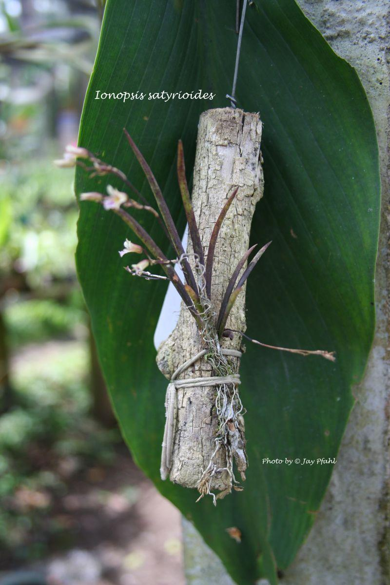 Inopsis satyrioides natural species.
