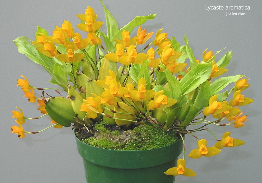Орхидеи на даче (в саду, огороде, открытом балконе) - Страница 3 Lycaaromatica