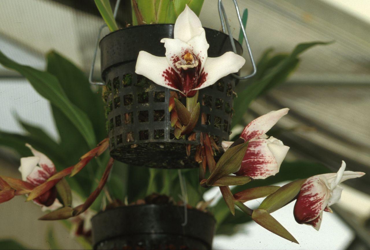 Maxillaria sanderiana Maxisanderian
