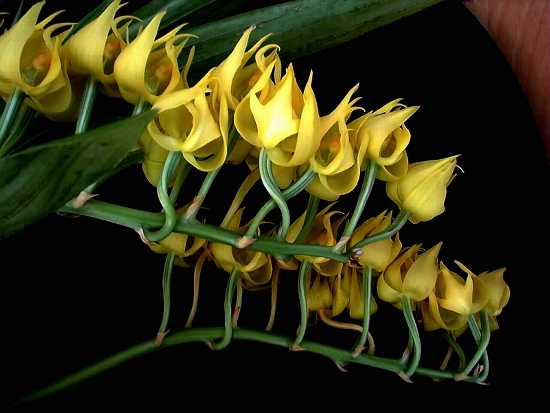 http://www.orchidspecies.com/orphotdir/mormunicolor.jpg