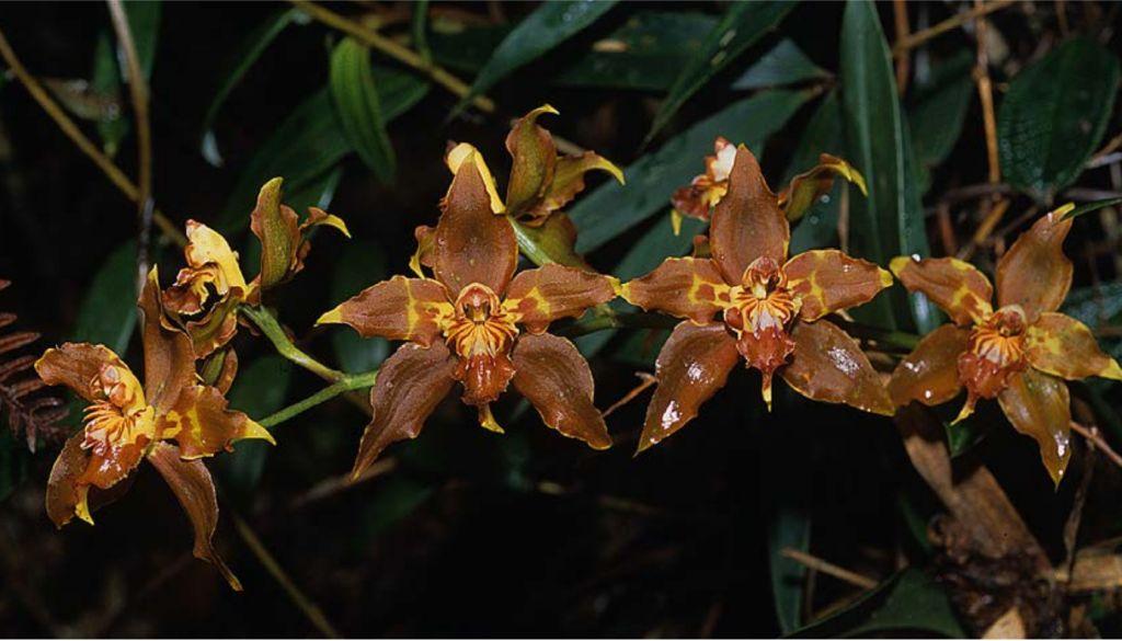 Odontoglossum kegeljanii x cristatellum Odontoglocristatellum