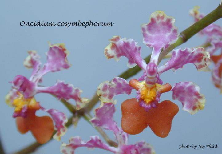 http://www.orchidspecies.com/orphotdir/onccosymbephorum.jpg
