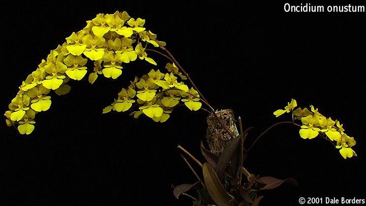 Iospe Photos Orchid Species   Simple Resume Template