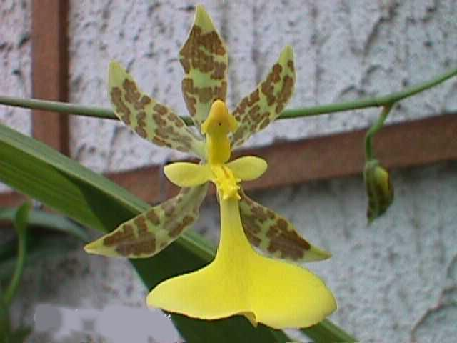 http://www.orchidspecies.com/orphotdir/oncunguiculatum.jpg