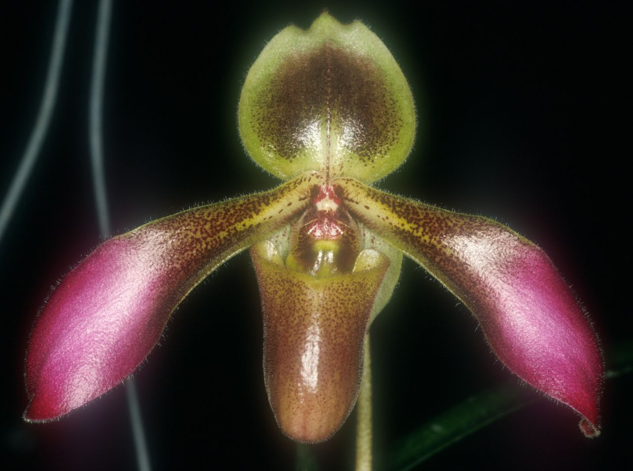 Many Paphiopedilum Orchids Have Mottled Or Patterned Leaves However This One Has Undecorated Ones Each Bisected By A Deep Crease