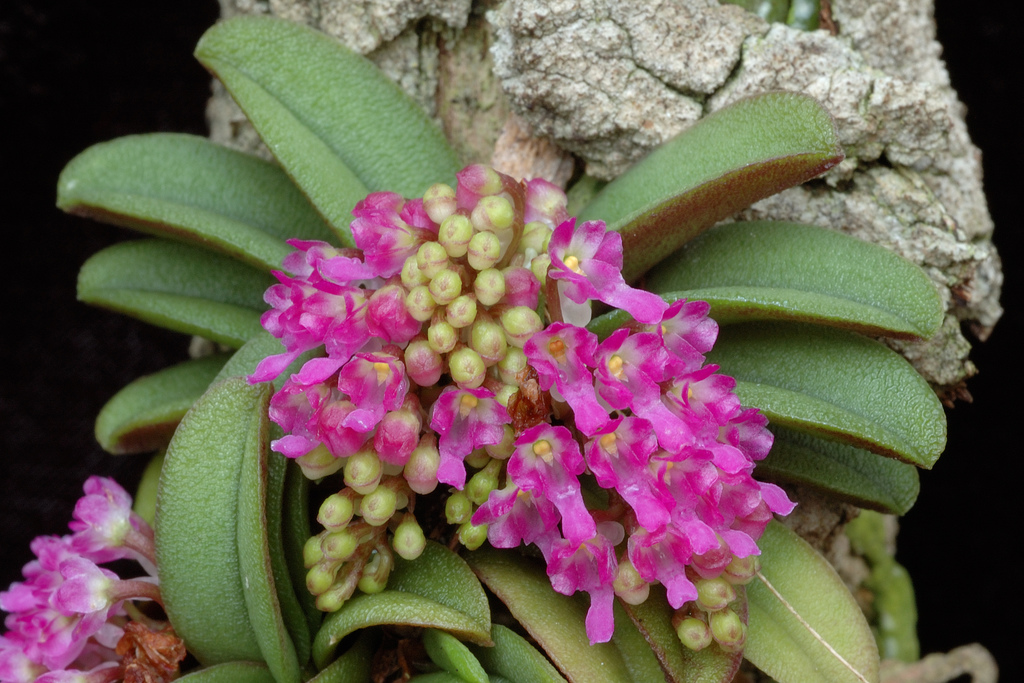Schoenfragrans on cool growing orchids