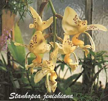 Stanhopea jenishiana by Marc Philippe