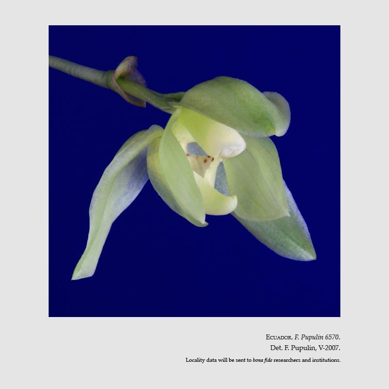 Stenia angustilabia D.E.Benn. & Christenson 1998