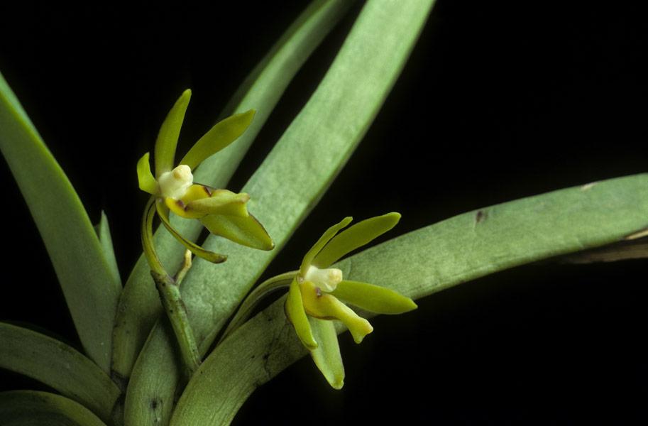 http://www.orchidspecies.com/orphotdir/trudchlorosantha.jpg