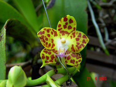 Hoa gieo tứ tuyệt 3 - Page 5 Vandopsisparishii